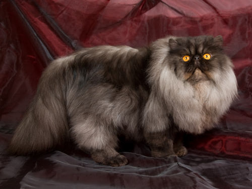 7 Rare Cat Coat Colors - iHeartCats
