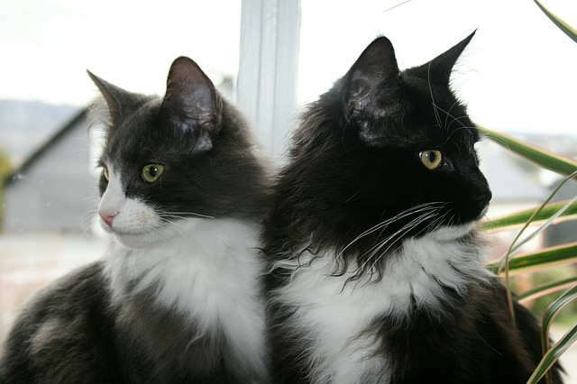 5 Facts About Tuxedo Cats Iheartcatscom
