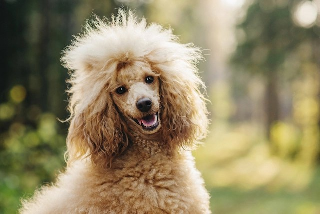 Cute Dental Wallpaper All About Poodles 9 Things You Didn T Know Iheartdogs Com