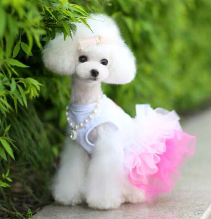 Wallpaper Perritos 3d Beyond Shaved Feet Popular Poodle Cuts