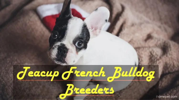 Image For Everything You Need To Know About The Boston Terrier