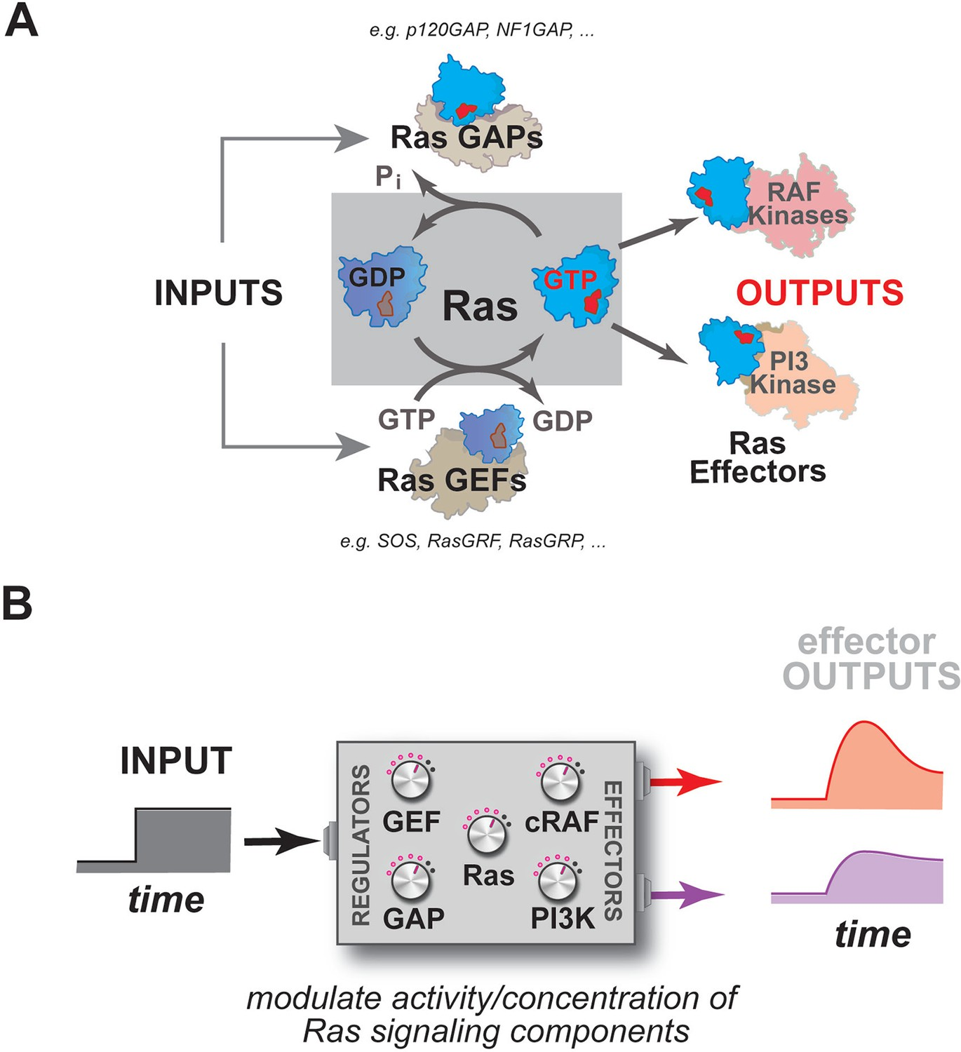Ras Mapping The Functional Versatility And Fragility Of Ras Gtpase