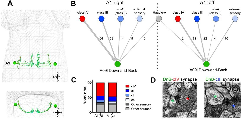 Nociceptive interneurons control modular motor pathways to promote
