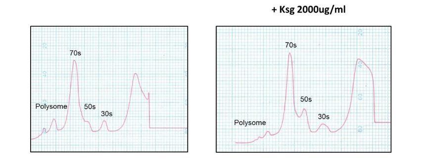 Kasugamycin potentiates rifampicin and limits emergence of