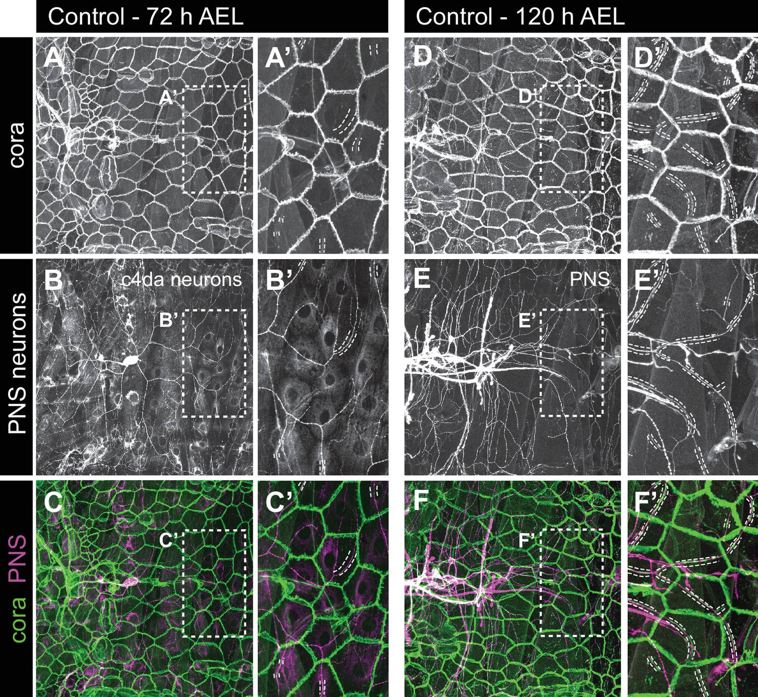 Schouw Gamma A Conserved Morphogenetic Mechanism For Epidermal Ensheathment Of
