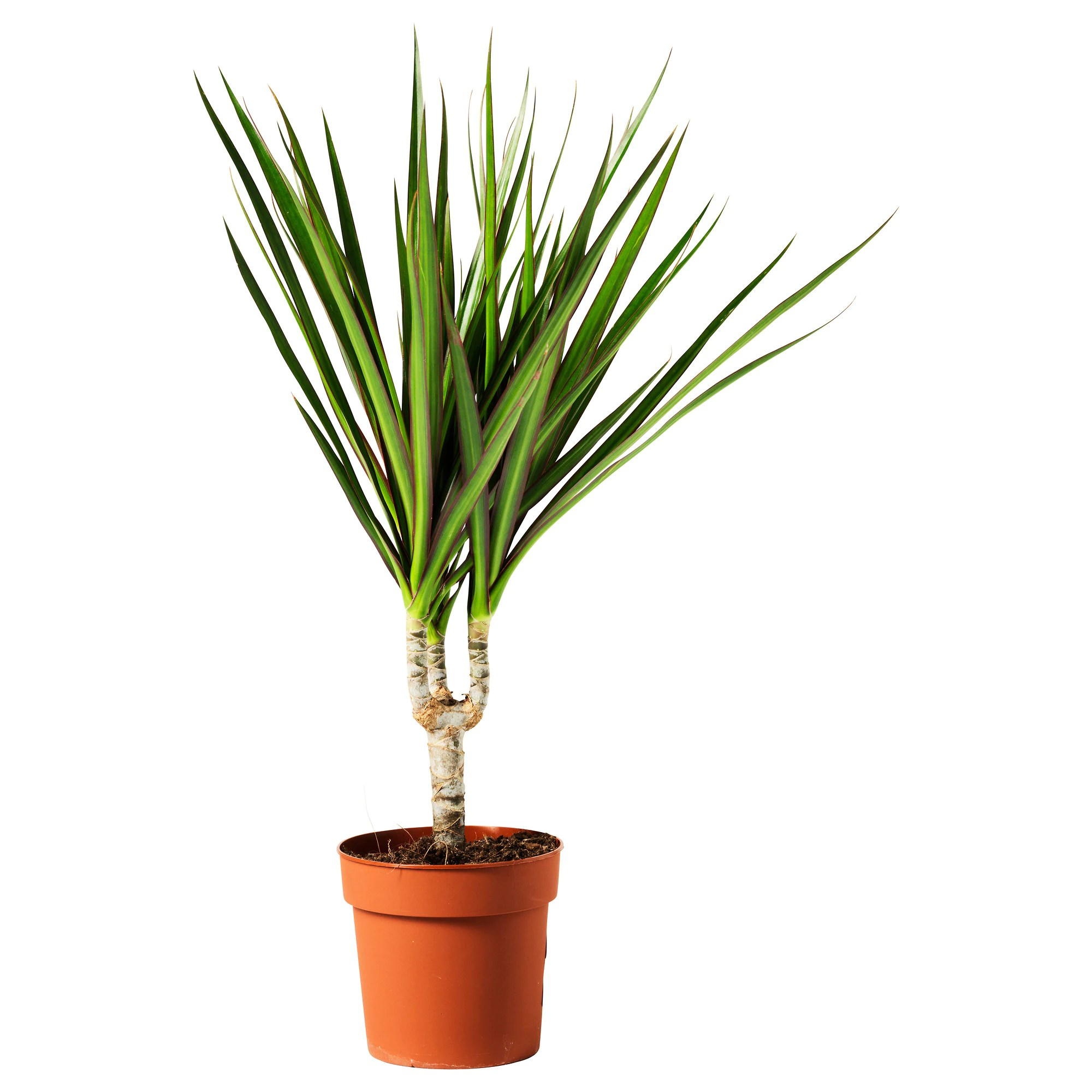 Ikea Palm Tree Dracaena Marginata Potted Plant Dragon Tree 1 Stem