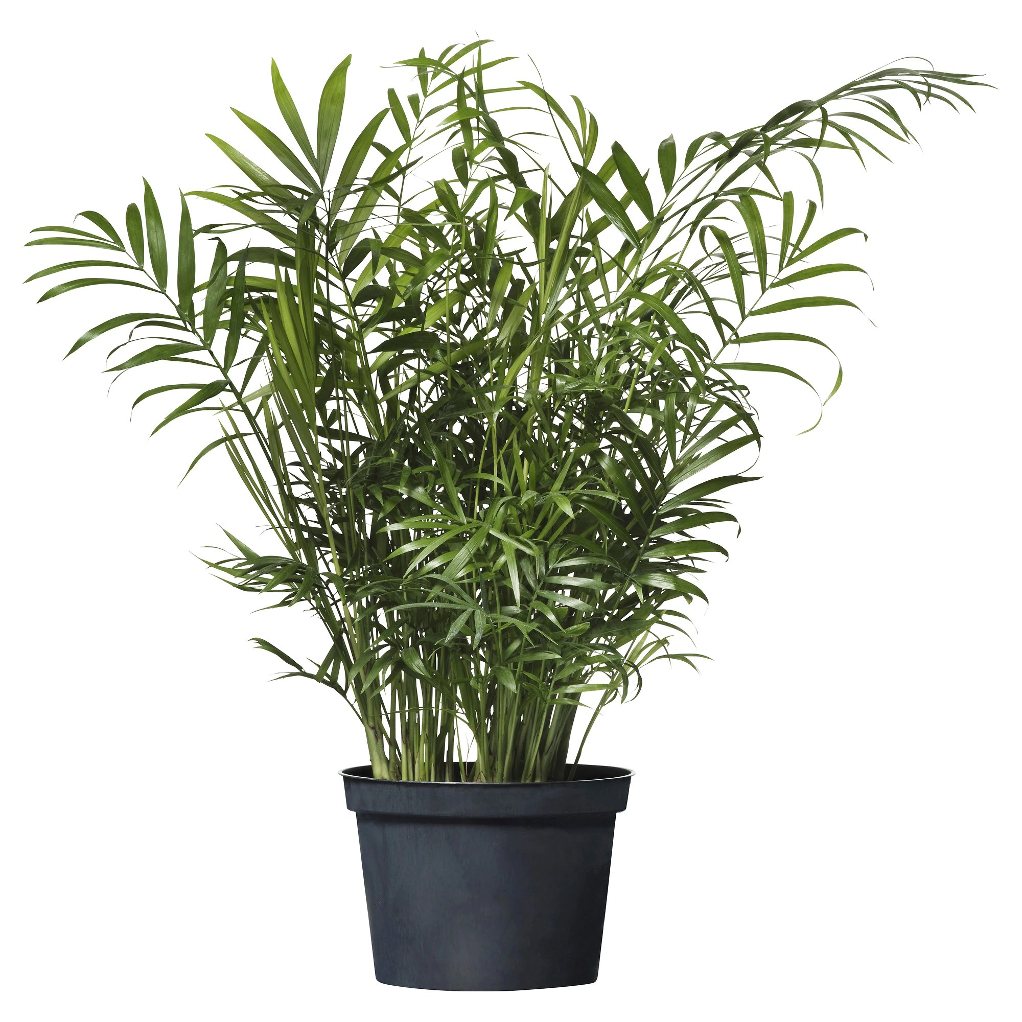 Ikea Palm Tree Chamaedorea Elegans Potted Plant Parlor Palm