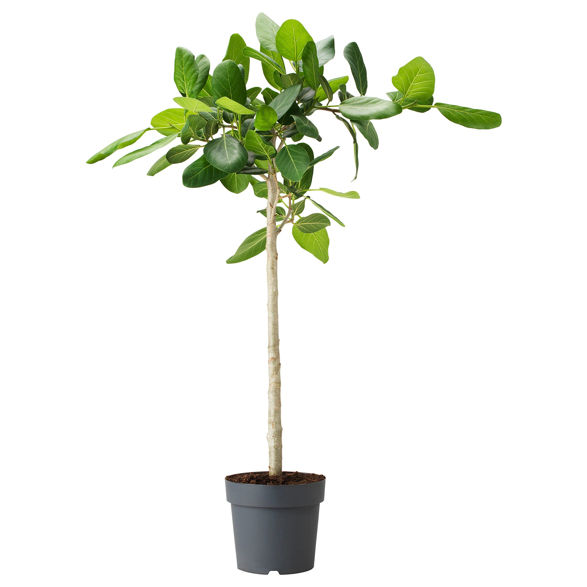 Ficus Benghalensis Pflege Pflanze Ficus Benghalensis Banyanholz