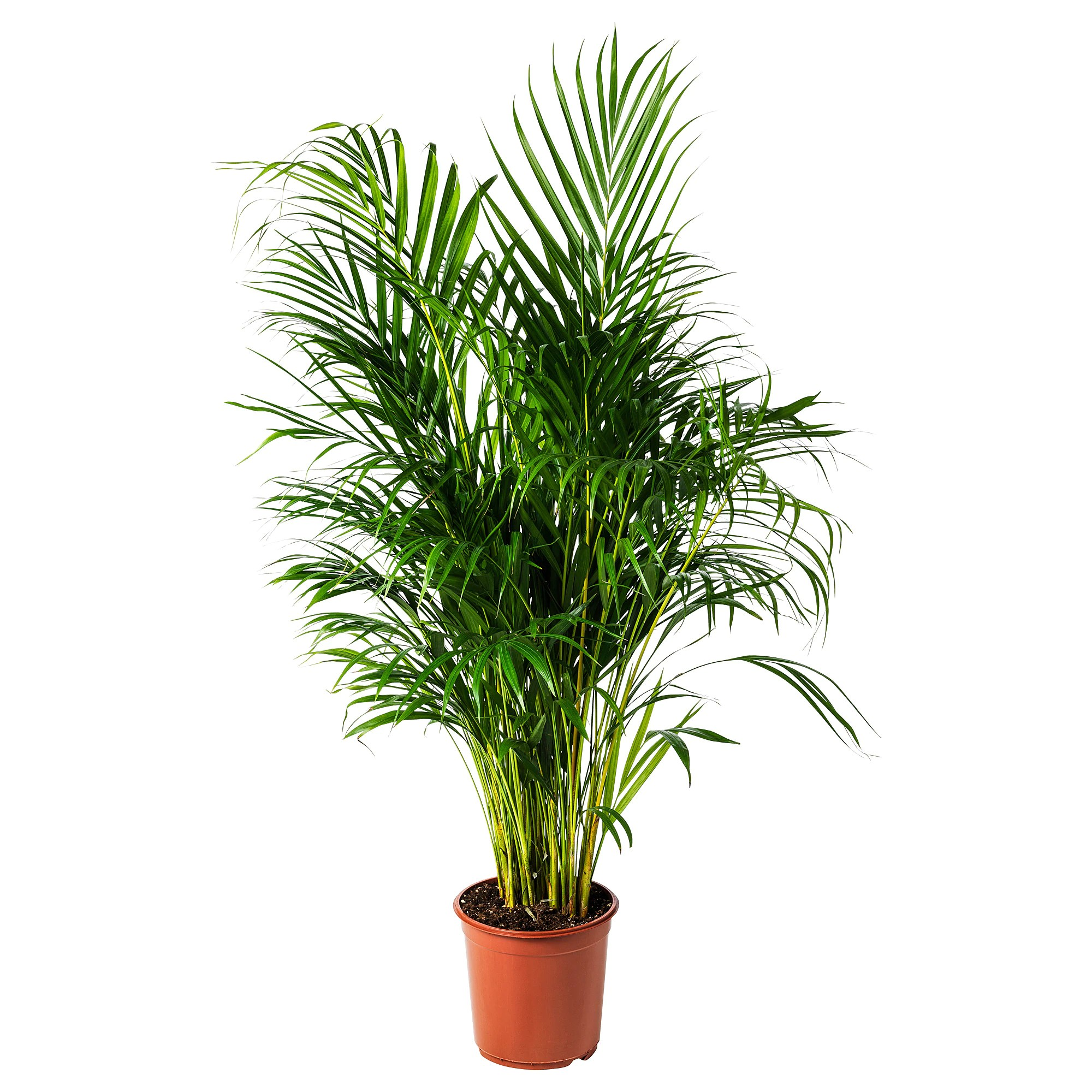Zamioculcas Pflege Pflanze Dypsis Lutescens Goldfruchtpalme