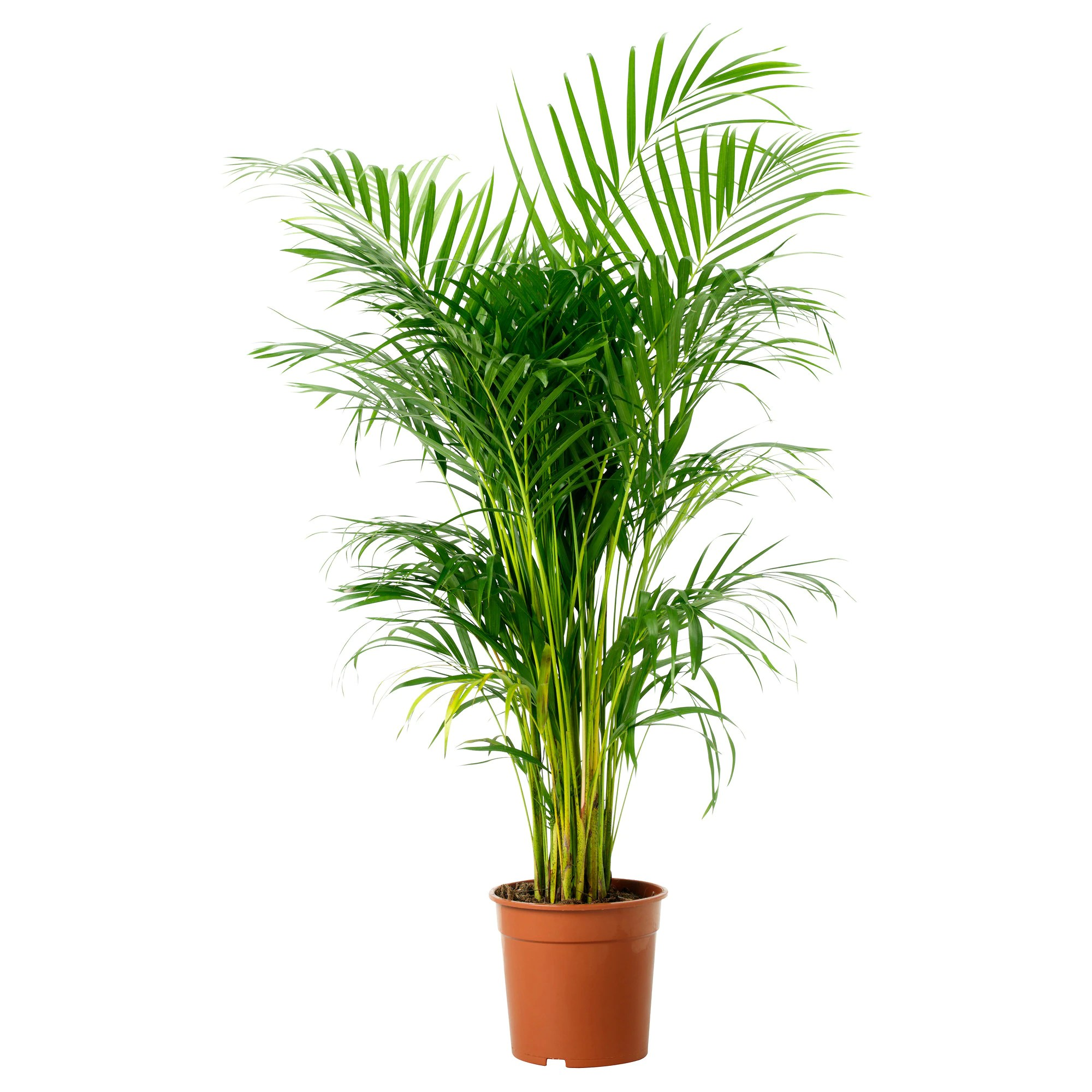 Ikea Palm Tree Chrysalidocarpus Lutescens Potted Plant Areca Palm