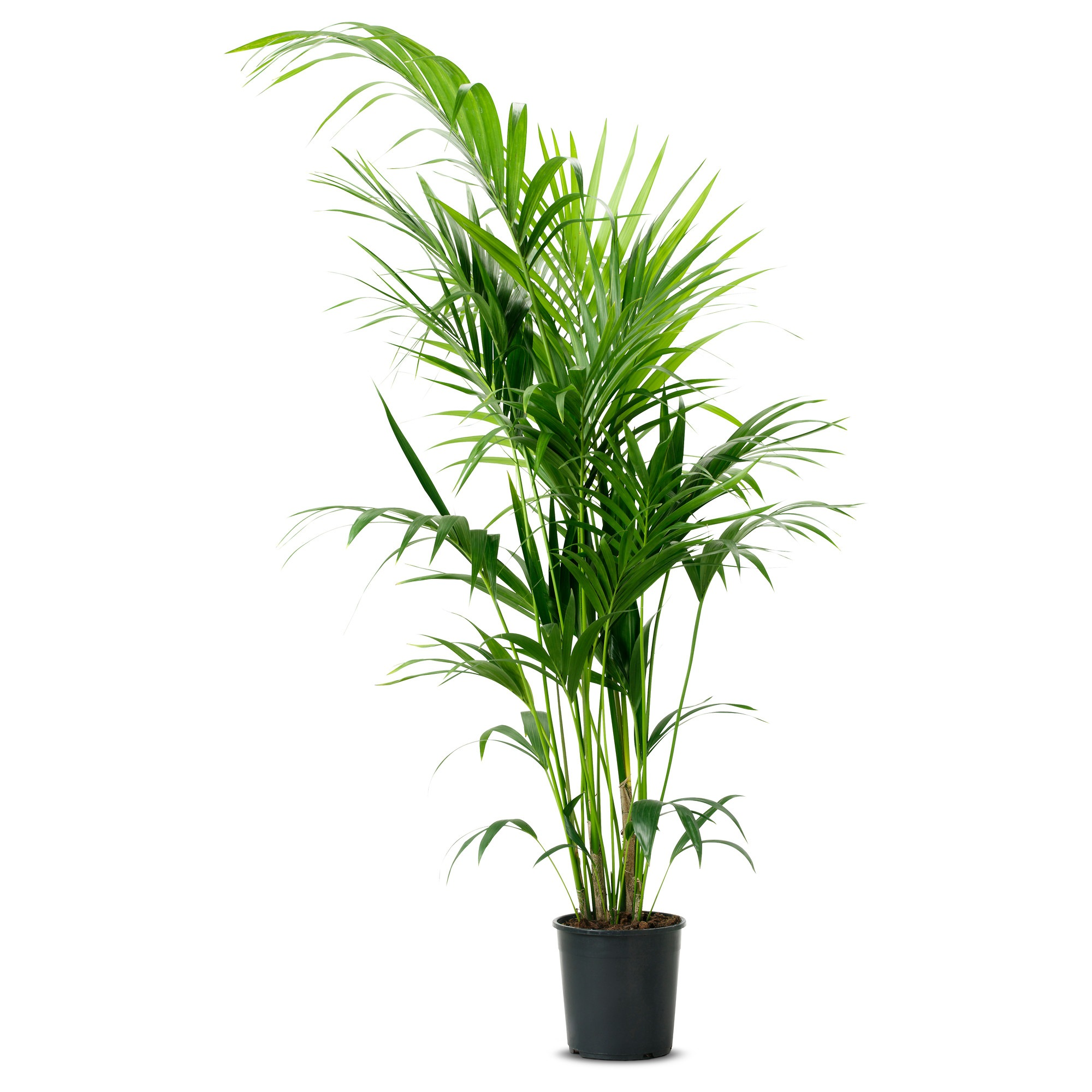 Artificial Chrysalidocarpus Lutescens Potted Plant Chrysalidocarpus Lutescens Areca Palm
