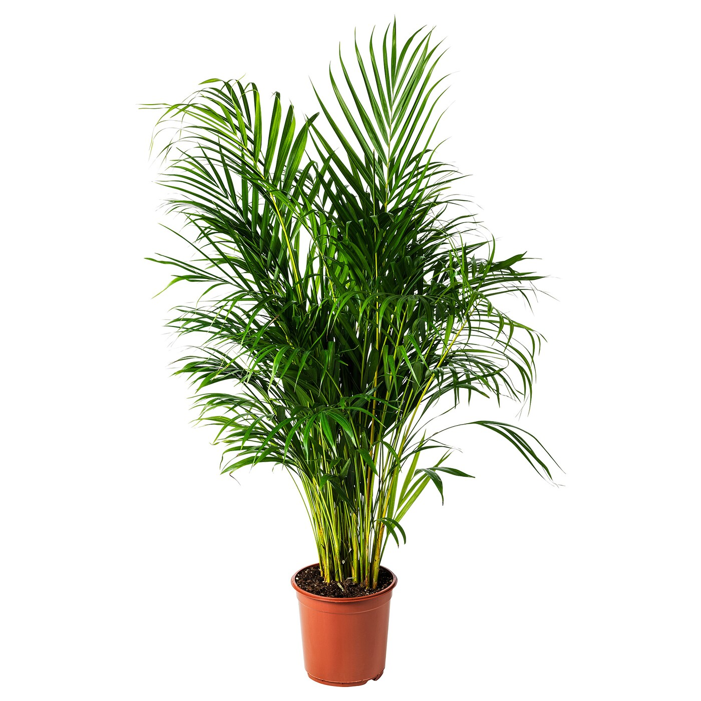 Dypsis Lutescens Pflanze Goldfruchtpalme Ikea