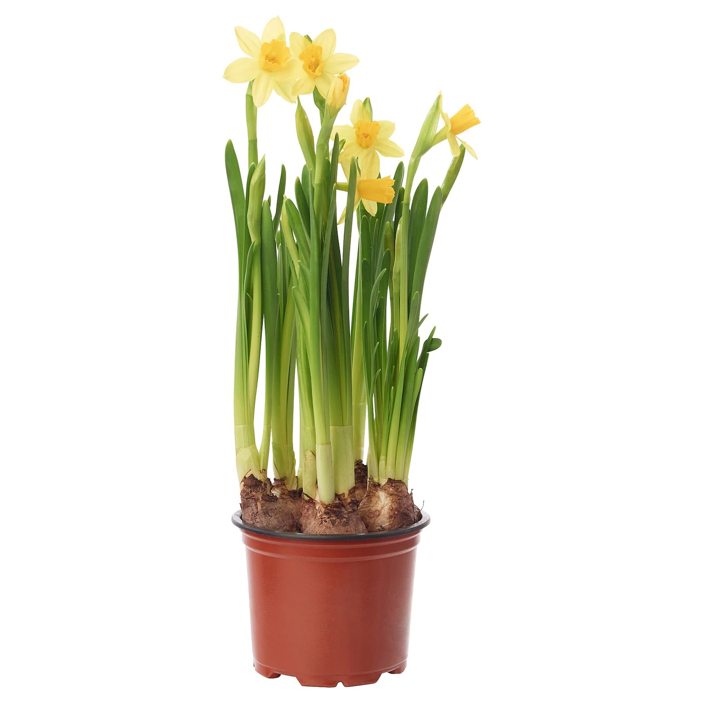 Narcissus Cyclamineus Narcissus Cyclamineus Tete A Tete Potted Plant Daffodil 9