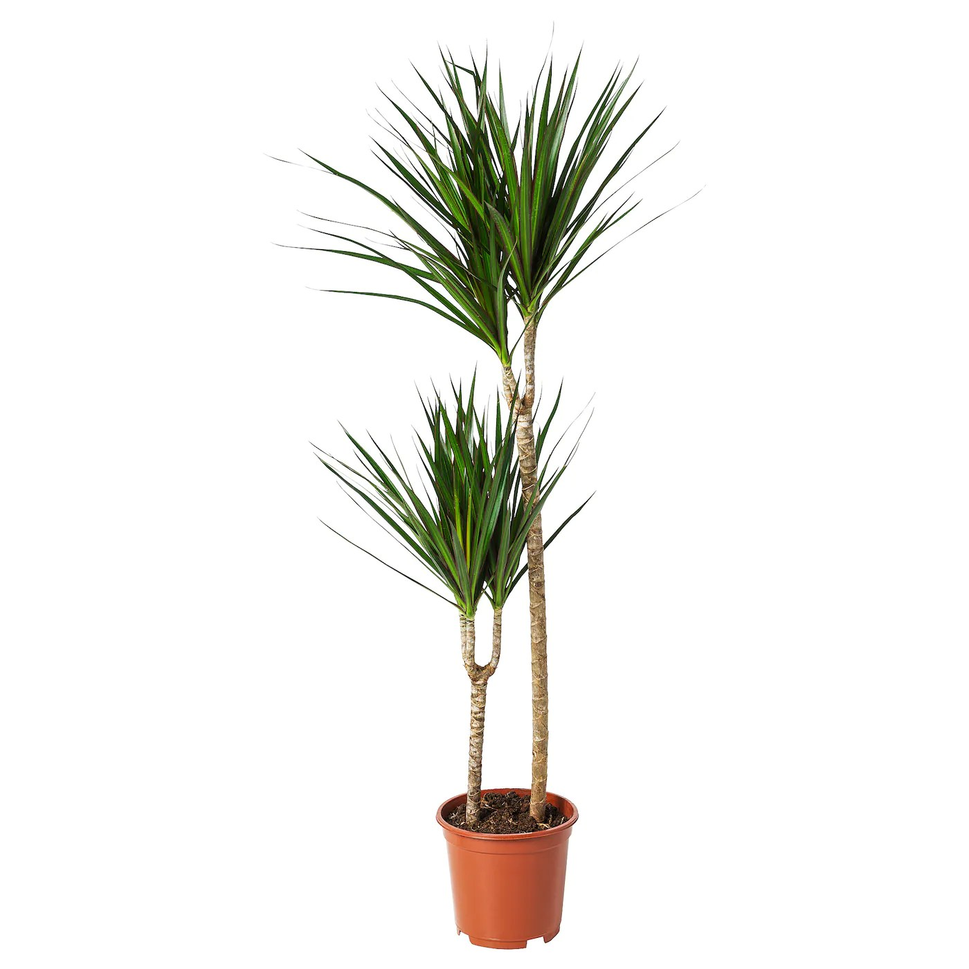 Ikea Palm Tree Dracaena Marginata Potted Plant Dragon Tree 2 Stem
