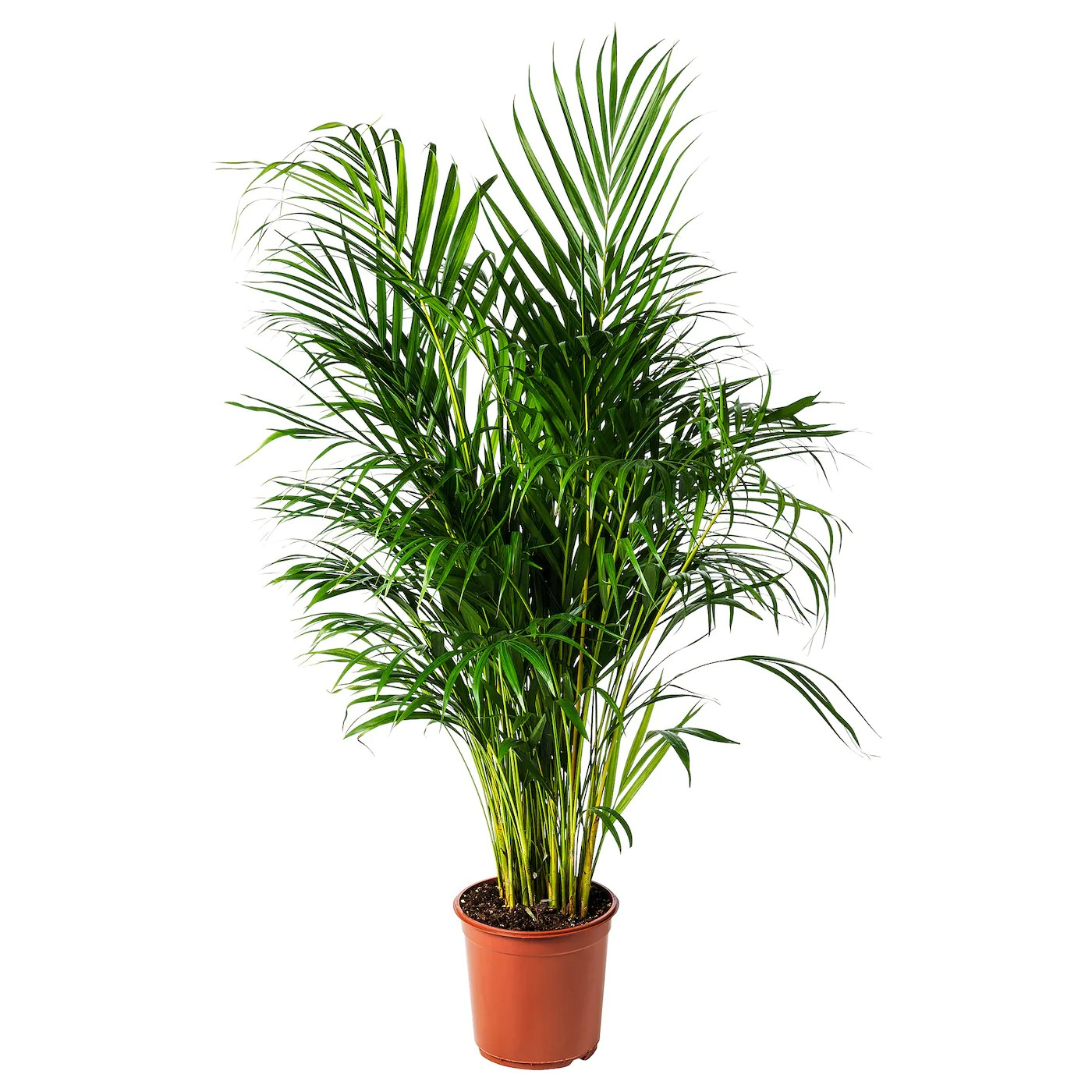 Ikea Palm Tree Dypsis Lutescens Potted Plant Areca Palm
