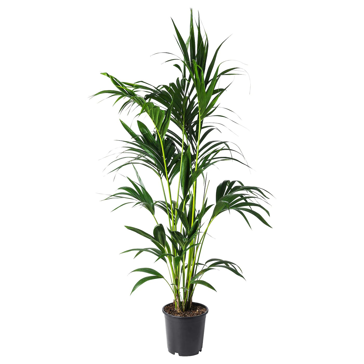 Ikea Palm Tree Howea Forsteriana Potted Plant Kentia Palm 24 Cm Ikea