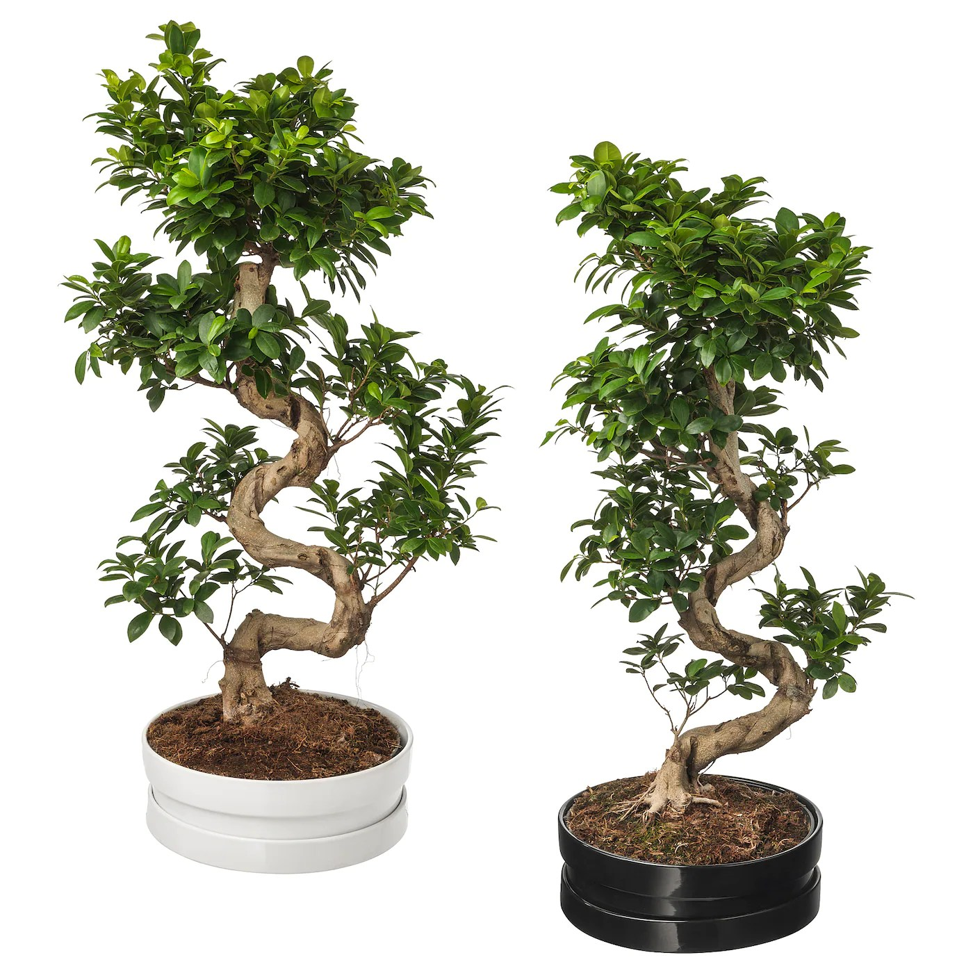 Ginseng Baum Ficus Microcarpa Ginseng Potted Plant With Pot Bonsai