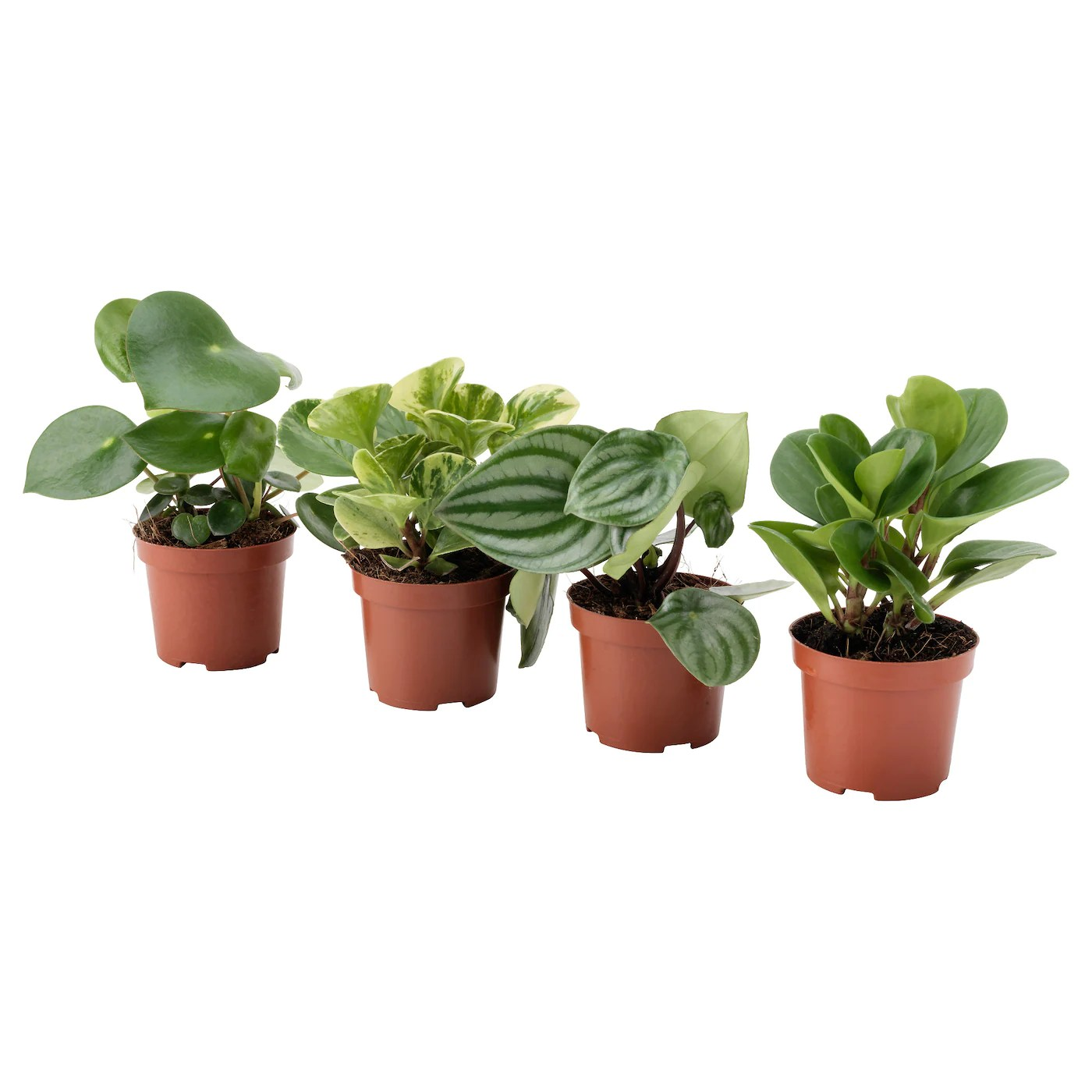 Ikea Potgrond Peperomia Potted Plant Assorted 9 Cm Ikea