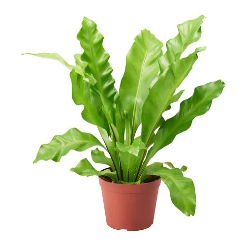 Ikea Shopping Cart Asplenium Potted Plant - Ikea