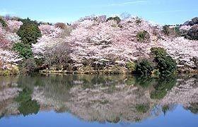 和歌山県 桜 穴場 名所 2016 花見 スポット 7