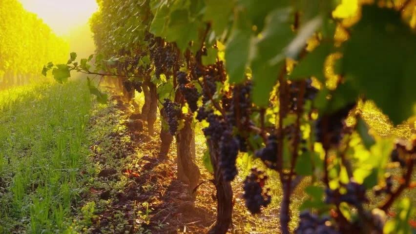 Shutterstock Hd Wallpapers Pinot Noir Grapes In Vineyard At Sunrise Oregon Shot On