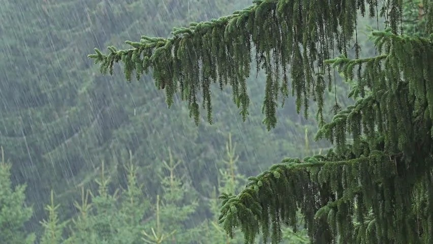 Rain Fall Live Wallpaper Heavy Rain In Mountain Pine Forest Stock Footage Video