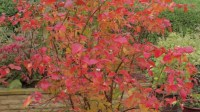 Blueberry Bush In Lovely Fall Colors In A Container On A ...
