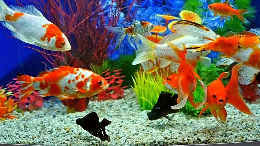Koi Fish 3d Animated Wallpaper Slow Motion Of Goldfish Eating Fish Food And Swimming In
