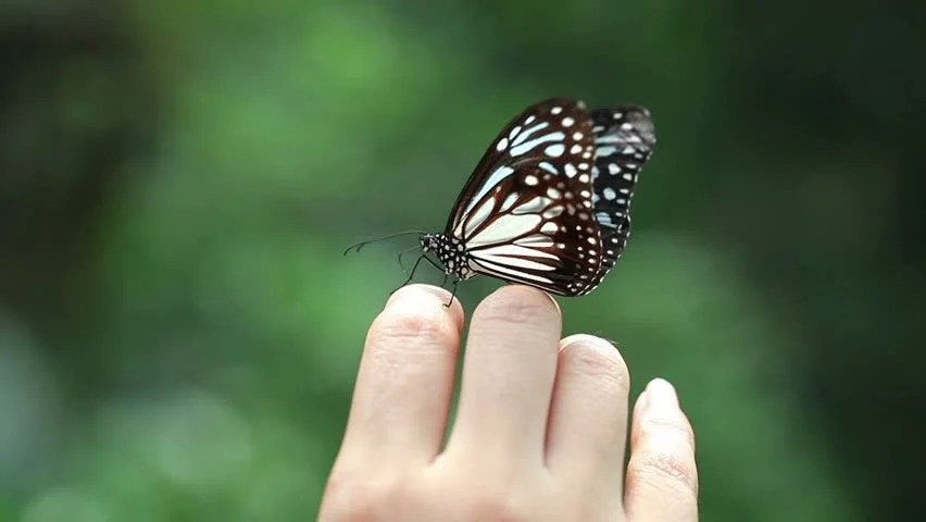 Hindi Girl Wallpaper Download Butterfly On Girls Finger Stock Footage Video 6204827