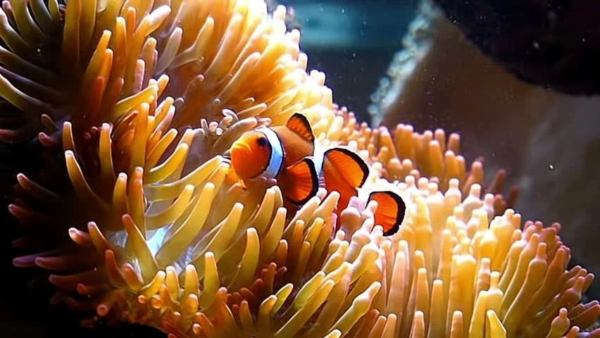 Animated Hd Wallpapers For Laptop False Clown Fish On Anemone Nemo Fish Stock Footage