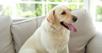 Cute Labrador Dog Sitting On The Couch At Home In The