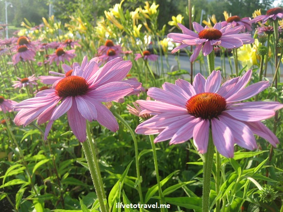 Echinacea flowers in New Hampshire, purple color