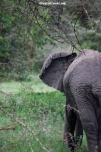 Elephant in Lake Manyara