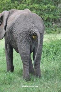 Elephant pooping in Lake Manyara