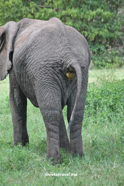 Elephant pooping in Lake Manyara
