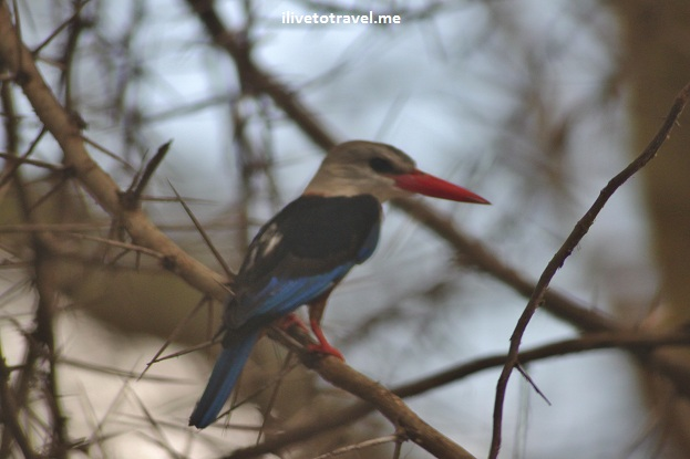 Dwarf kingfisher bird