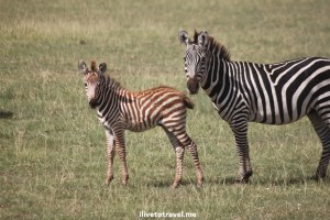 Young and adult zebra in Lake Manyara