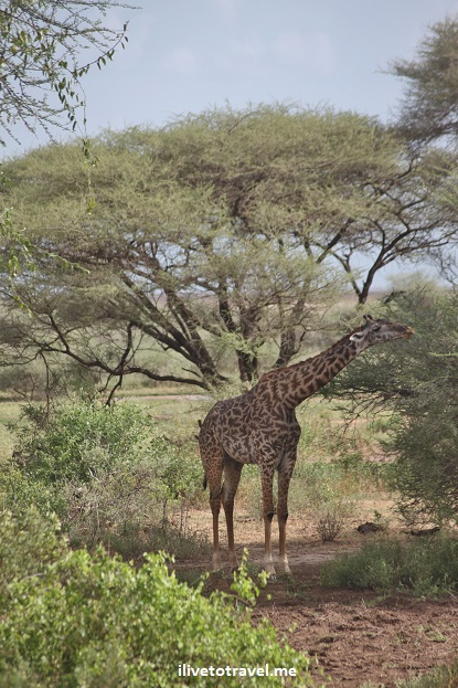 One of many giraffes we encountered