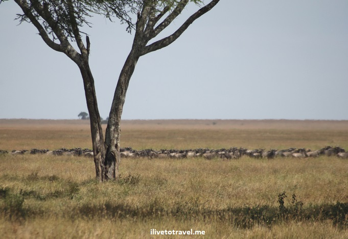 Lioness, lion kill, wildebeest, Serenget, safari, Tanzania, photo essay, gnu, Africa, outdoors, nature