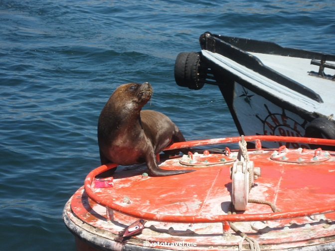 Valparaiso, Valpo, sea lion, marine life, Chile, travel, tourism, charm, Canon EOS Rebel, photo