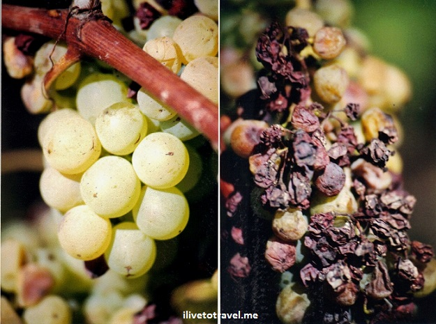 Sauternes,  Botrytis cinerea, noble rot, wine, grapes, Bordeaux, Graves, Semillon, photo, travel, Canon EOS Rebel