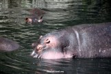 hippopotamus, hippos, safari, wildlife, Serengeti, Tanzania, Africa, birds, photos, Canon EOS Rebel