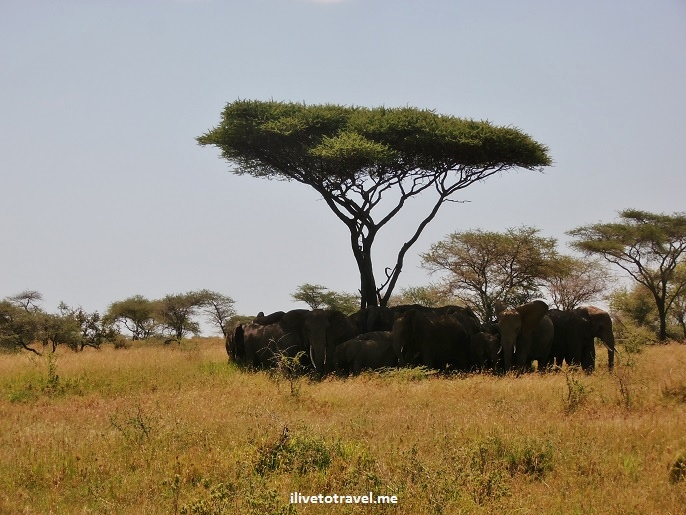 elephants, acacia, tree, shade, Serengeti, Tanzania, Africa, Olympus, travel, adventure, photo, safari