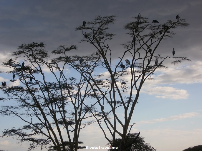 Sunset, tree, birds, blue, sky, dark cloud, safari, travel, photo, Olympus, Serengeti, memorable