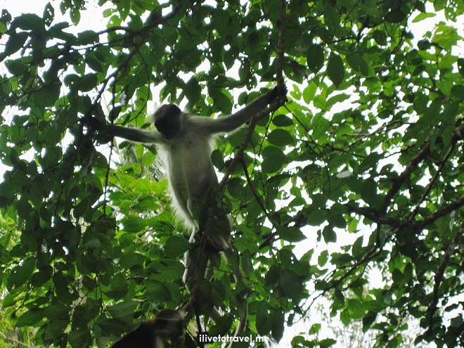 Zanzibar, Jozani, Chwaka Bay, National Park, colobus, monkey, photo, travel, Tanzania