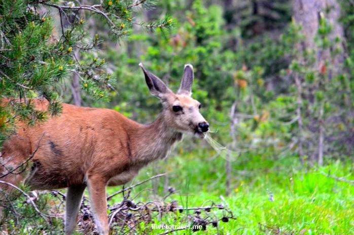 Grand Teton National Park, Wyoming, Grand Tetons, outdoor, nature, flowers, mountain, travel, hiking, mule deer