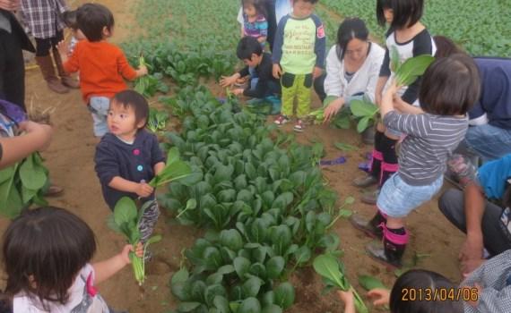 食育体験 小松菜畑へGO! 2013年4月6日(土)