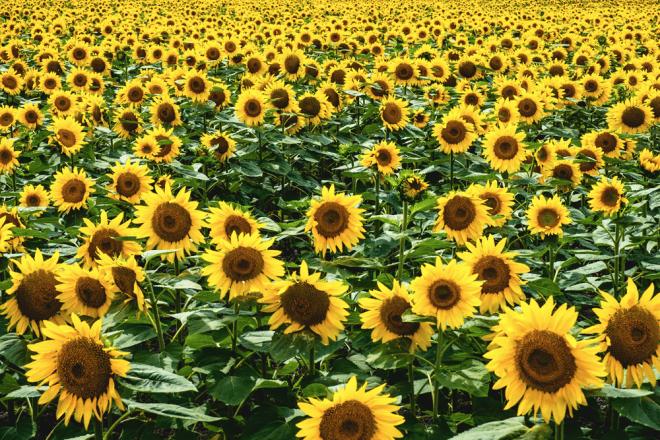 朝日ヶ丘公園 大空町(おおぞらちょう) ひまわり畑