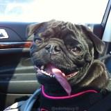 Dog Days of Summer Safety – Car Safety