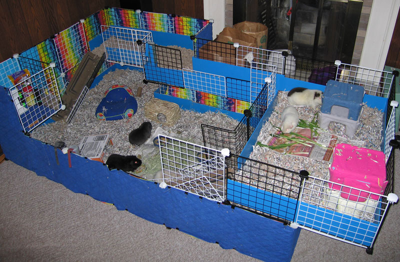Guinea Pigs As Pets The Scoop On Keeping Pet Guinea Pigs I Love Pets